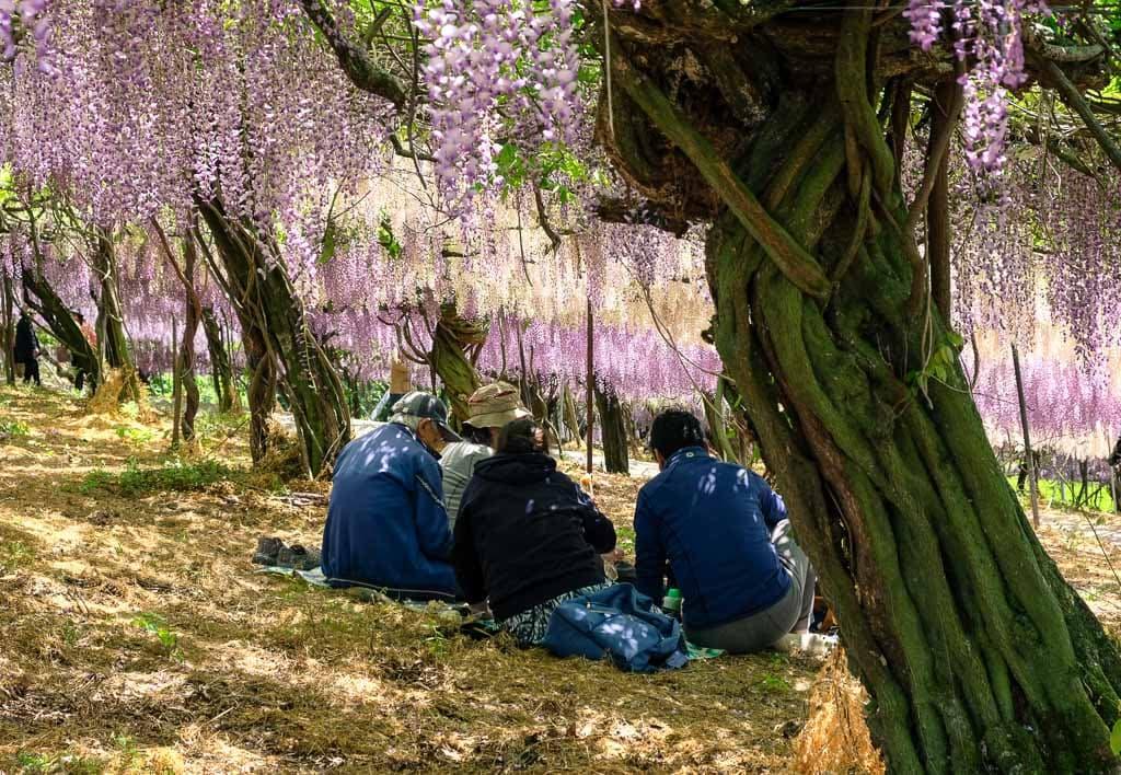 El túnel de glicinias del Senzai Park en Japón