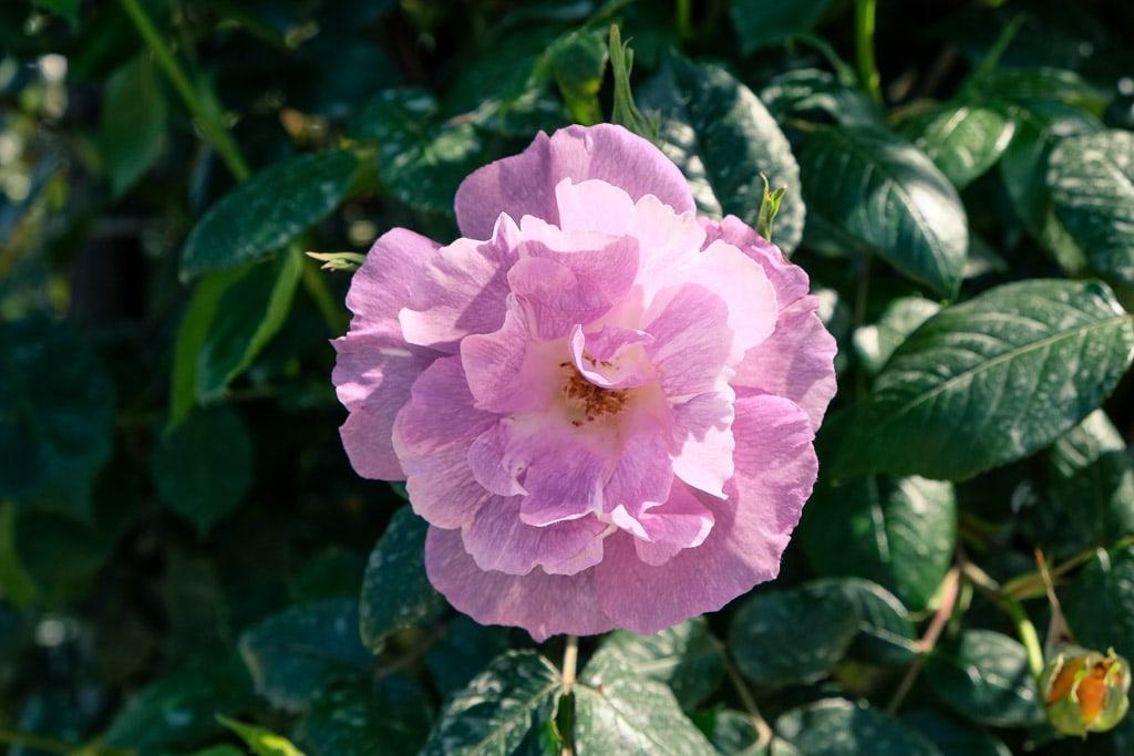Detalle de una rosa del parque Senzai