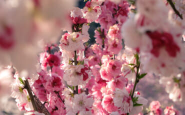 Variedad de flores del sakura