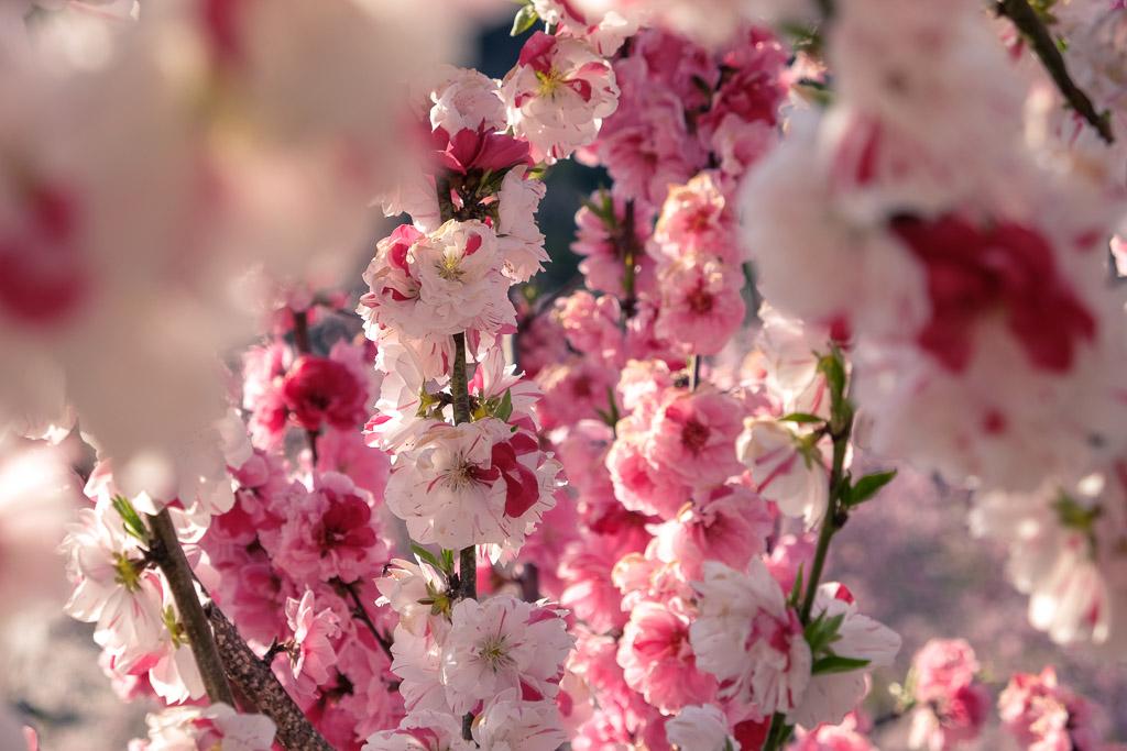 Flores del sakura en el Keiseki Park y nemophilas en Nakatsu, Oita