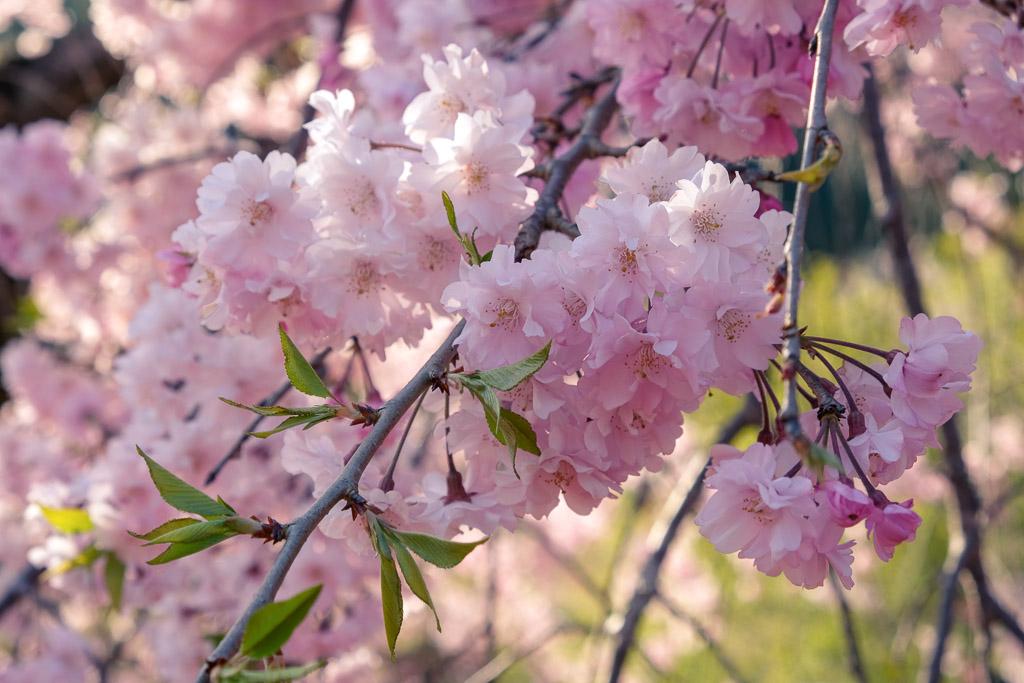 Flores del sakura rosas