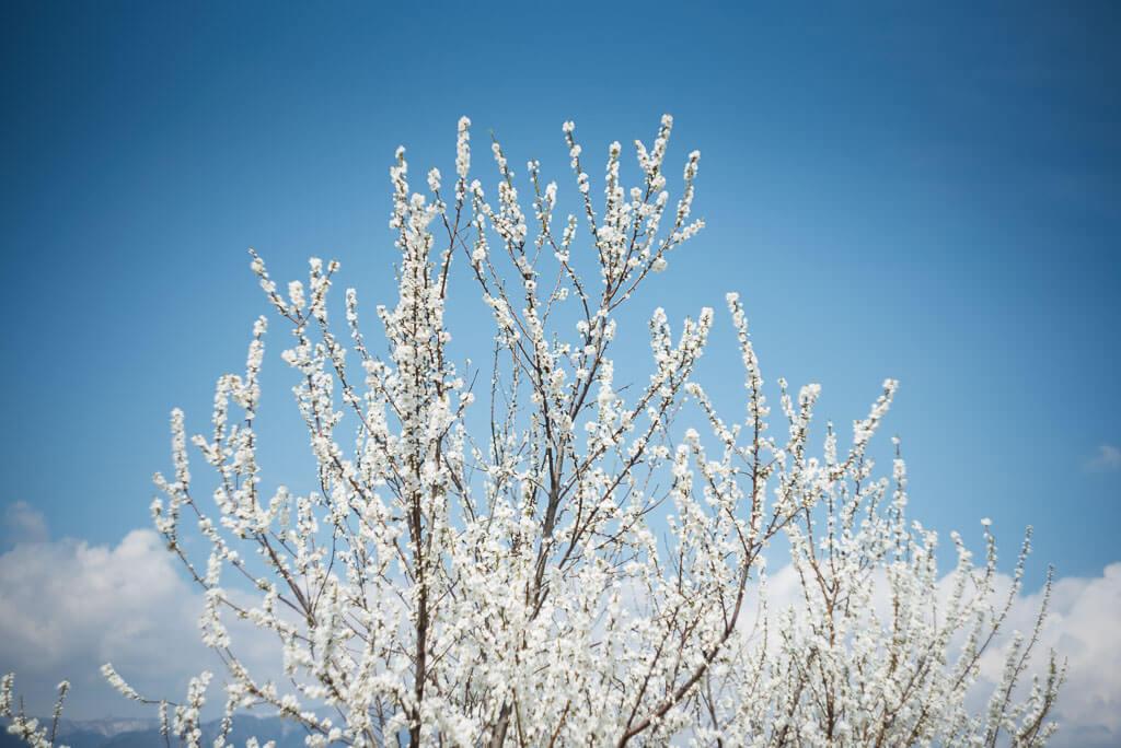 Flor del melocotón blanca