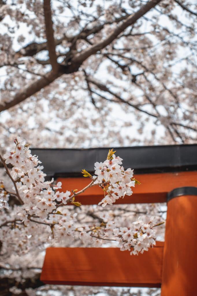 detalle de puerta torii con flores de cerezo