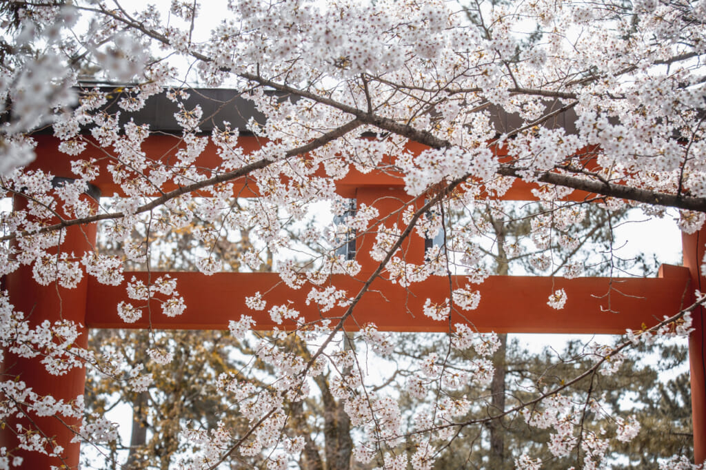 puerta torii escondida tras flores de cerezo