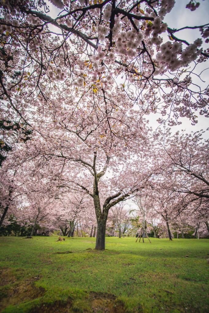 cerezos en flor en el parque de Nara