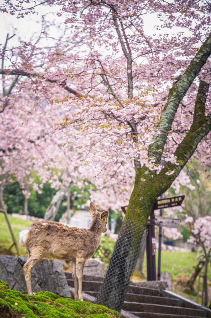 ciervo bajo cerezos en flor en nara