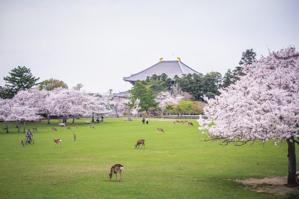 ciervos pastando en kasuganoenchi