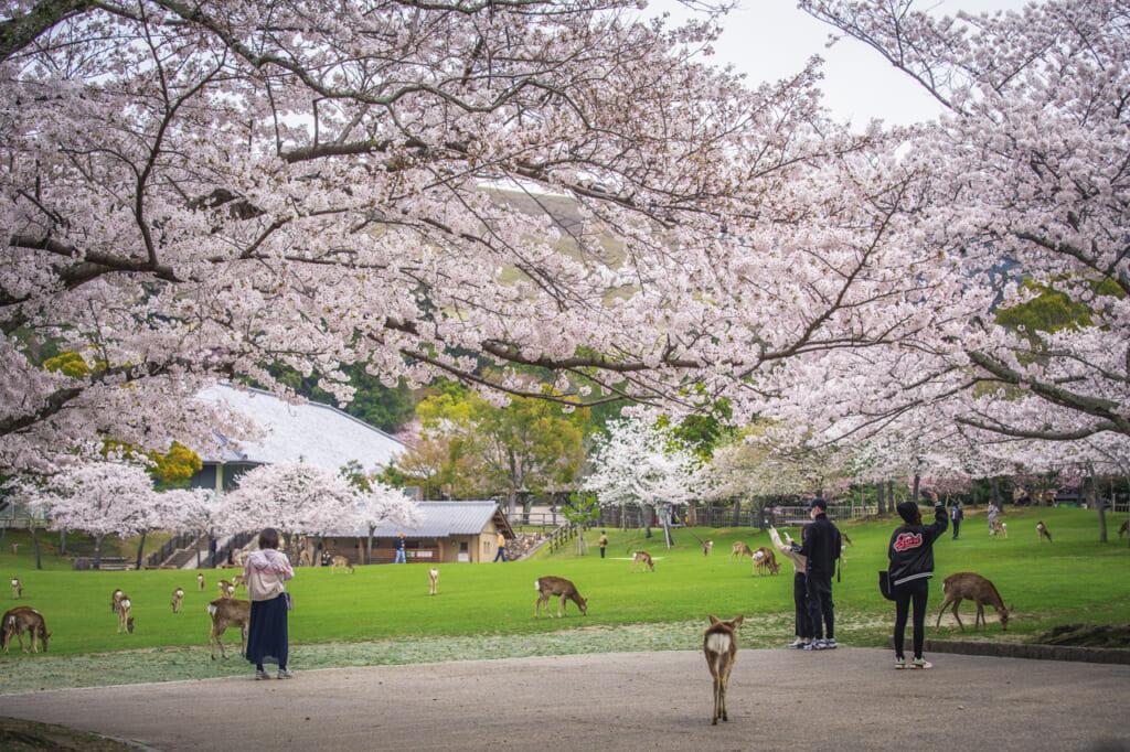 ciervos y visitantes bajo cerezos en flor en nara
