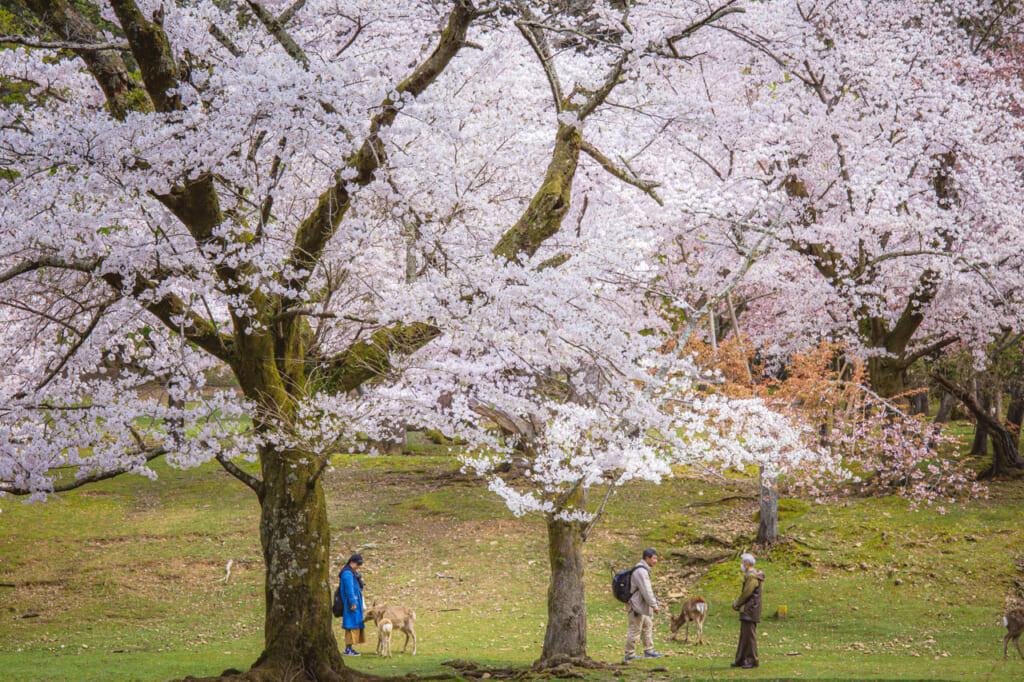 ciervos acercándose a personas bajo cerezos en flor