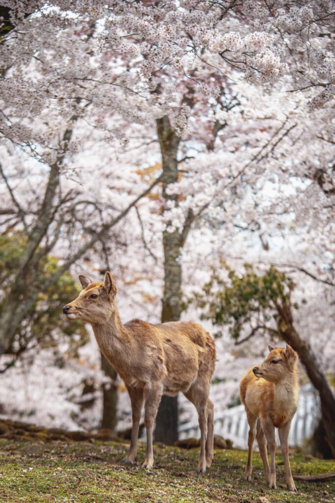 dos ciervos bajo cerezos en flor en nara