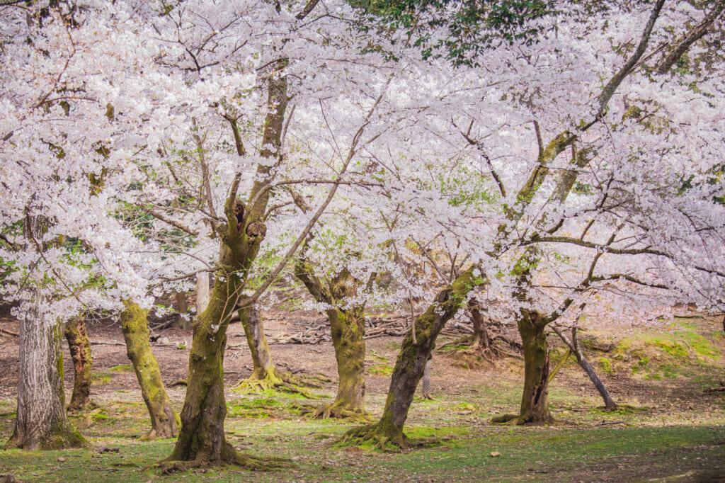 cerezos en flor en chayamaenchi en nara
