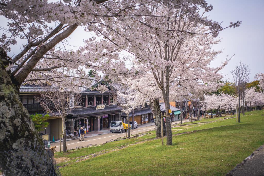 calle con cerezos en flor delante del monte wakakusa, en Nara