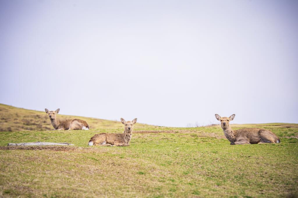 ciervos en el monte wakakusa