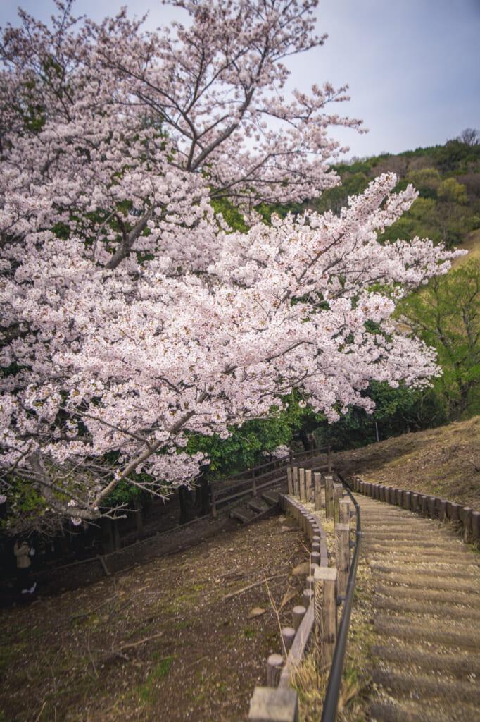 cerezos en flor en el monte wakakusa en nara
