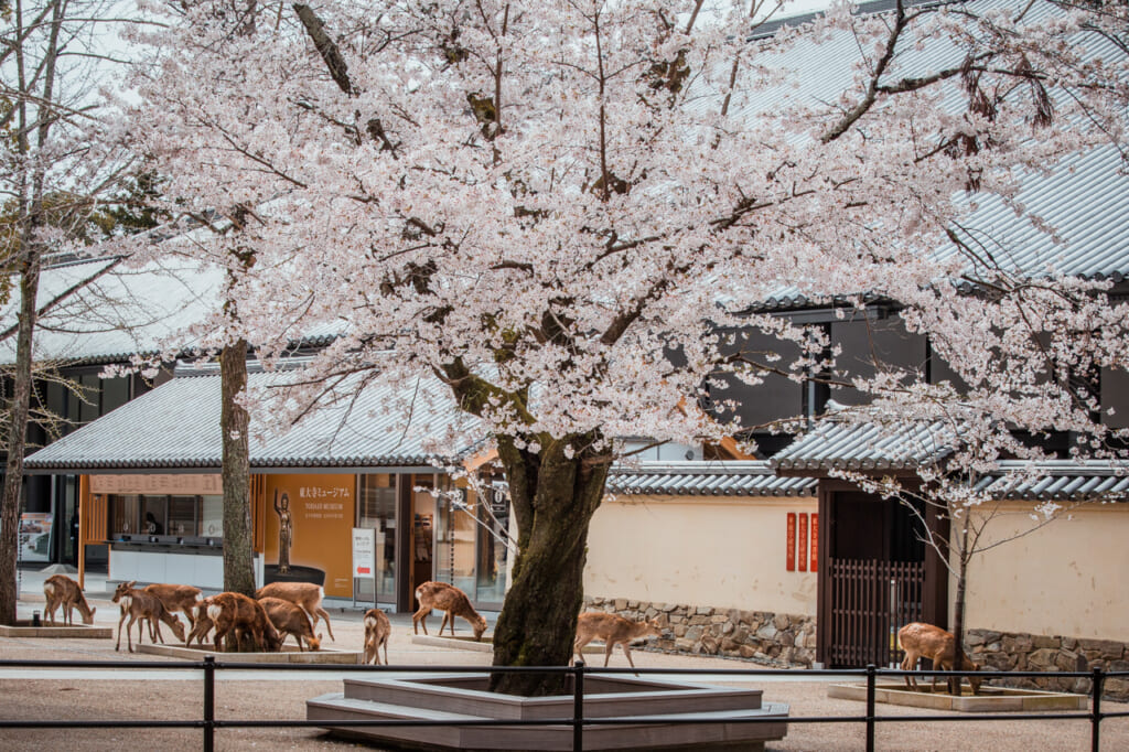 ciervos pastando bajo un cerezo en flor en Nara