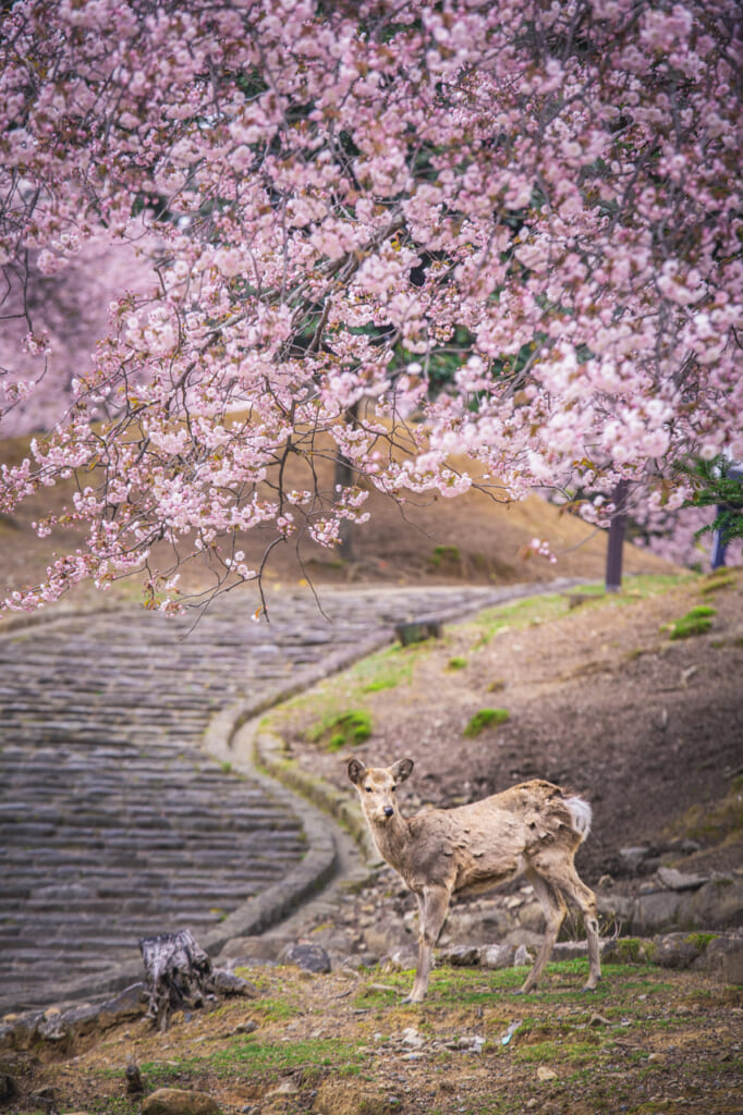 ciervo bajo un cerezo en flor en Nara