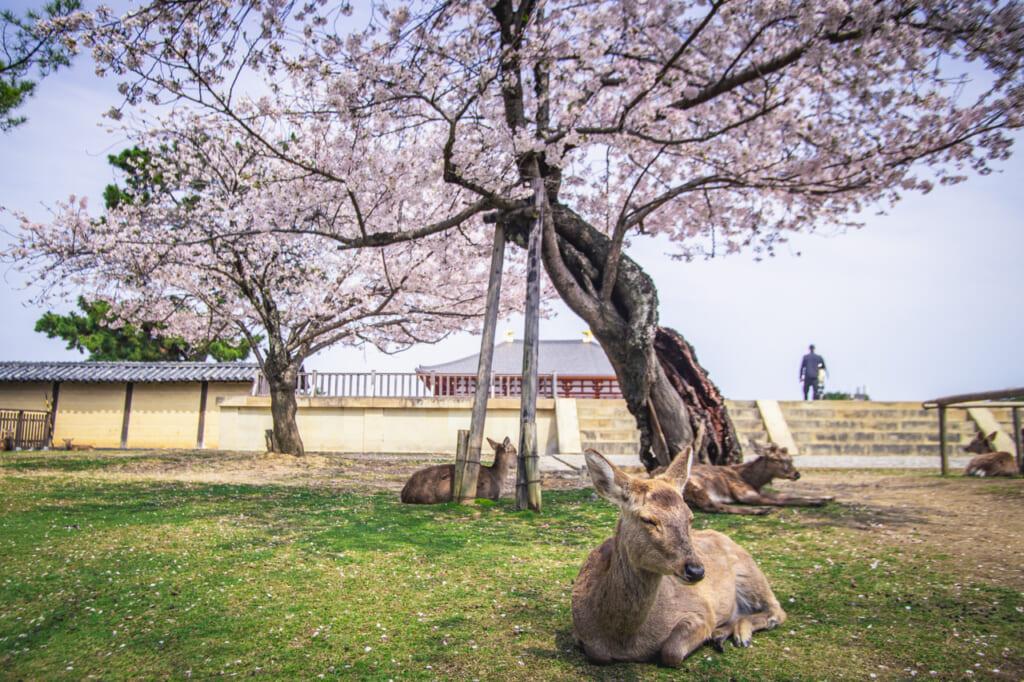 ciervos de nara descansando bajo cerezos en flor