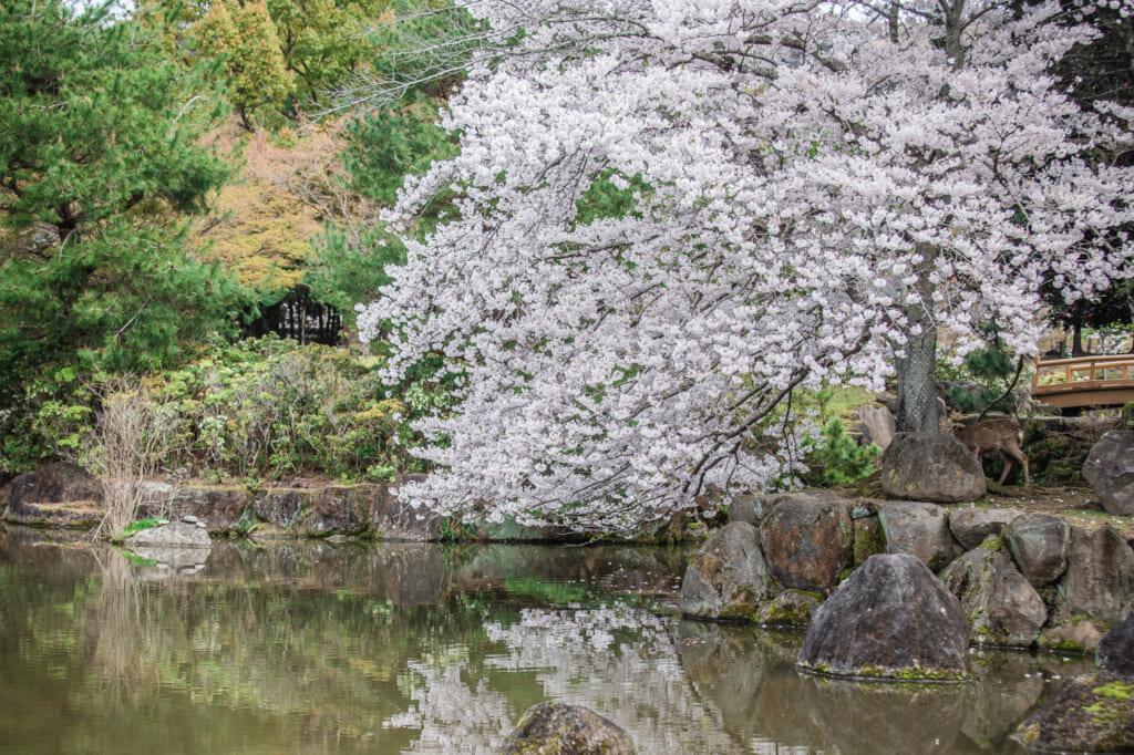 cerezos en flor en un lago de nara
