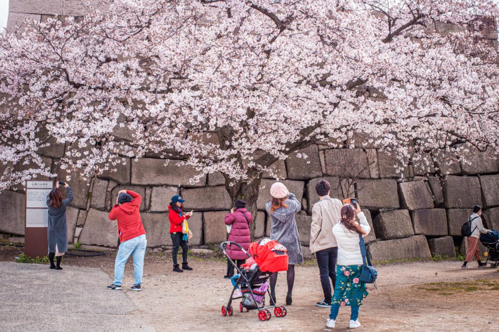 personas sacando fotos a un cerezo en flor en el castillo de osaka