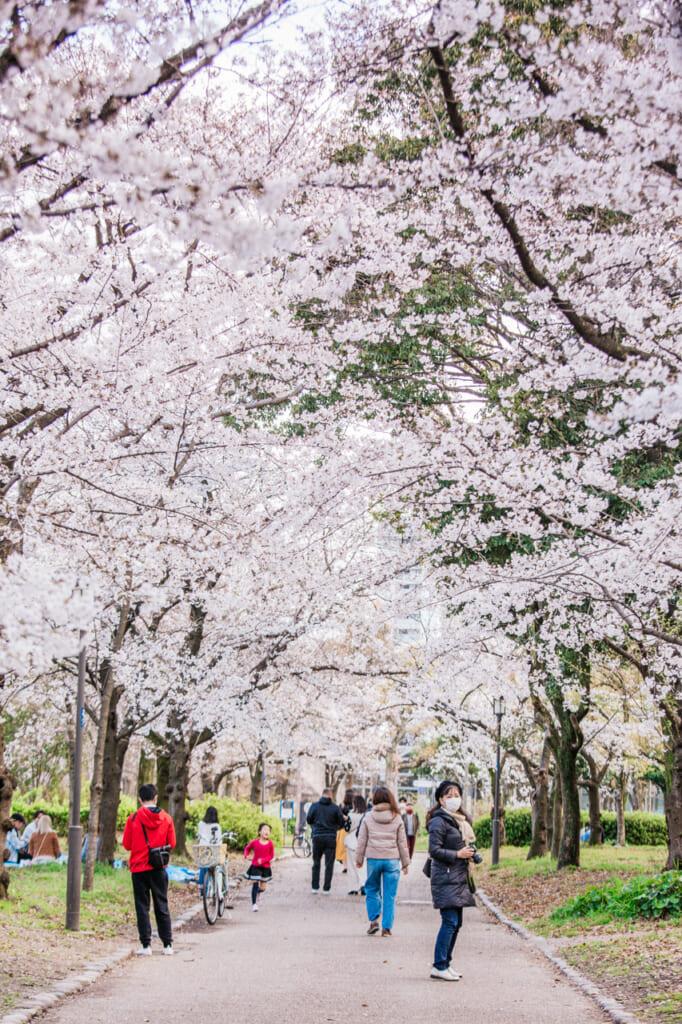 tunel de cerezos en flor en el castillo de osaka