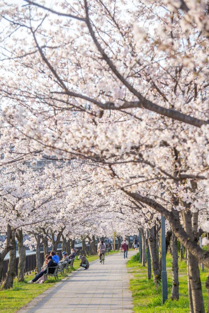 camino lleno de cerezos en flor en sakuranomiya
