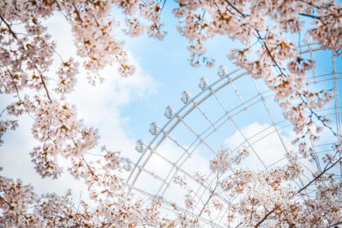 noria tras flores de cerezo
