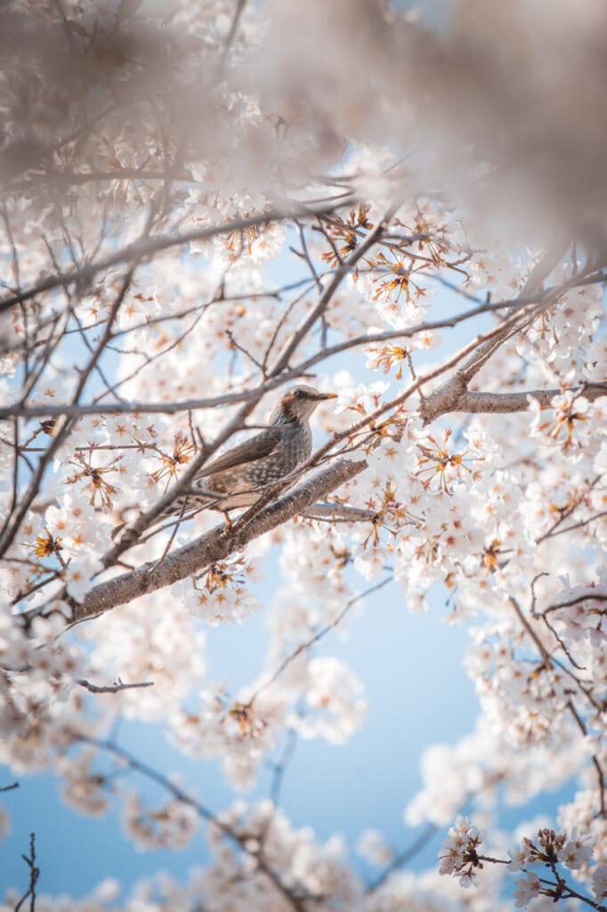 pájaro posado en un cerezos en flor en el parque expo '70 osaka