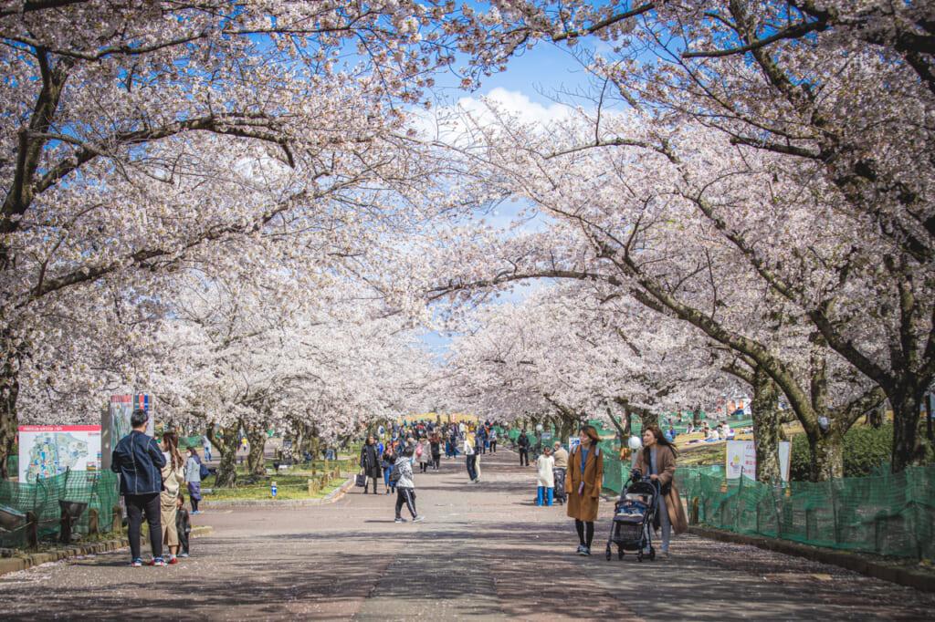 tunel de cerezos en flor en pájaro posado en un cerezos en flor en el parque expo '70 osaka