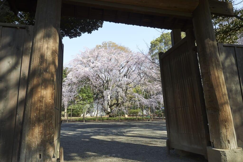 Un imponente cerezo en los jardines japoneses en Tokio de Rikugi-en