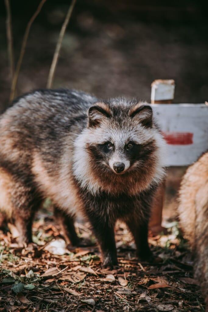 fotografia de un tanuki real, el perro mapache de japon
