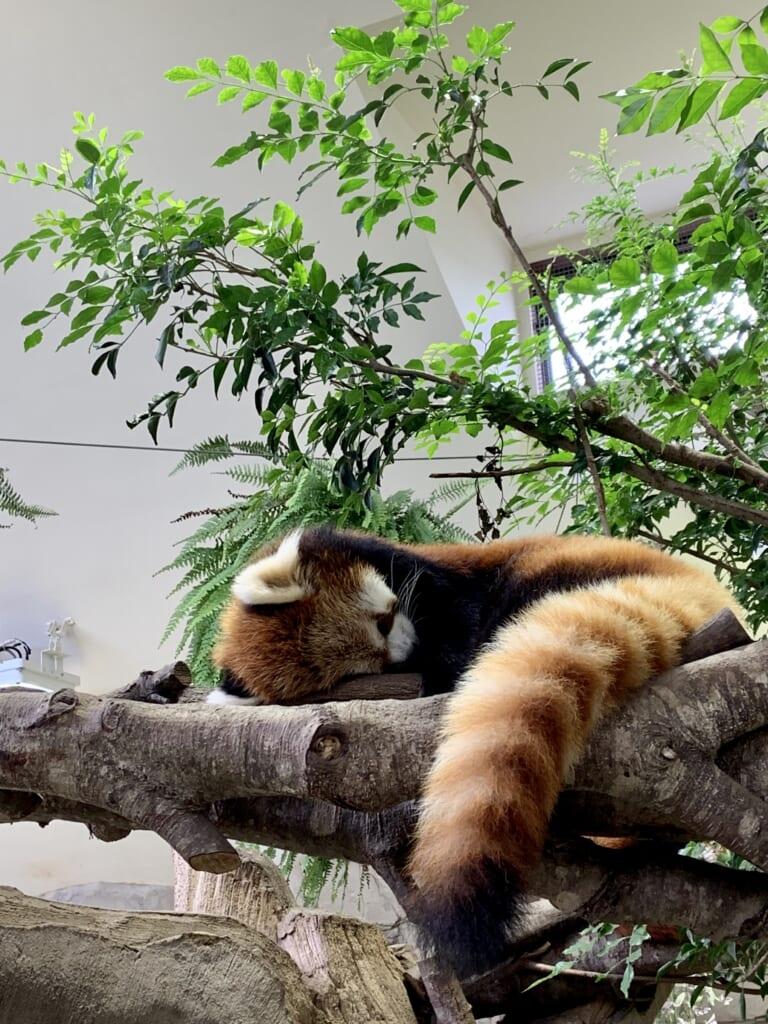 Pandas Rojos en el Animal Kingdom