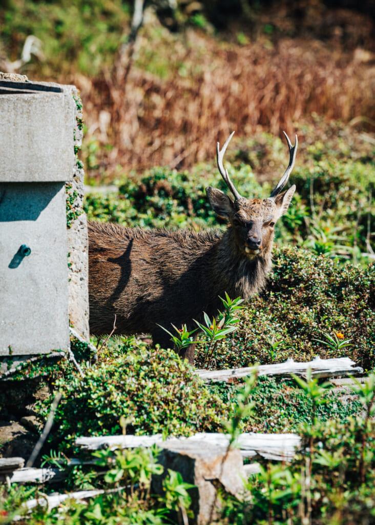 Los ciervos de la isla Nozaki