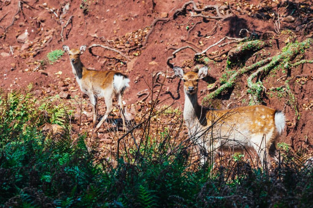 Los ciervos salvajes que viven libremente por la zona