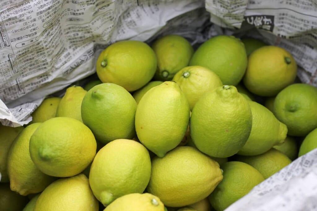 Recolectando limones durante mi viaje por Shimanami Kaido