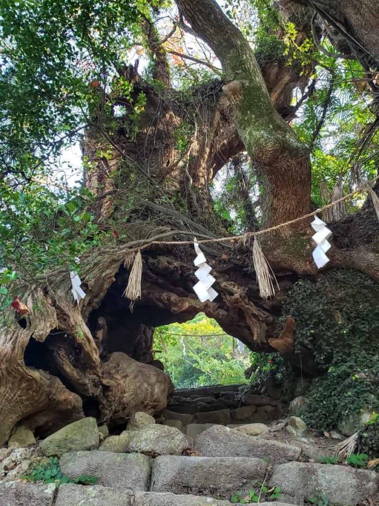 Árboles del Santuario Oyamazumi, Ehime, Japón