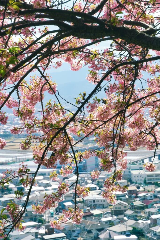 Flores de sakura y el pueblo de Matsuda detrás, en Kanagawa