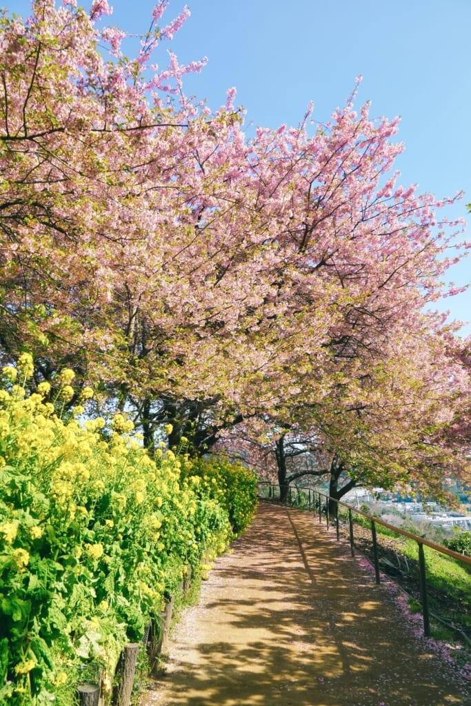 flores de colza y los kawazu sakura en Matsuda