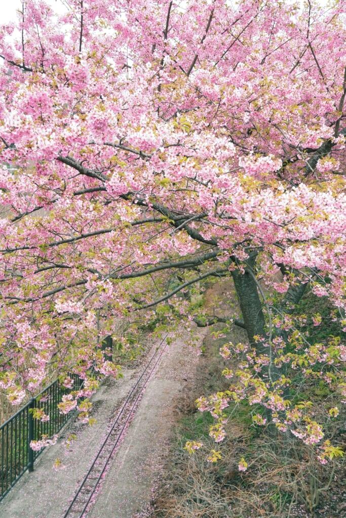 Las vías de la locomotora de vapor entre las flores del cerezo del festival de Matsuda