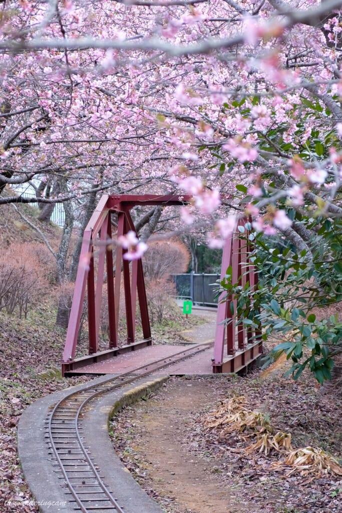 Como se ven las vías del tren durante el festival de las flores del cerezo de Matsuda, Kanagawa