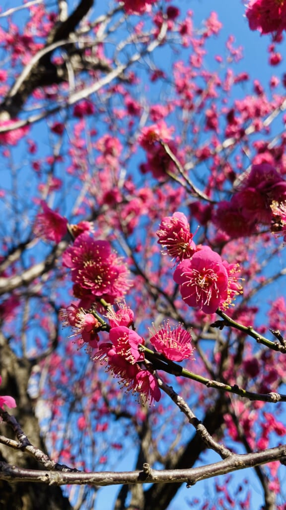las flores del Ume en un parque de Kangawa