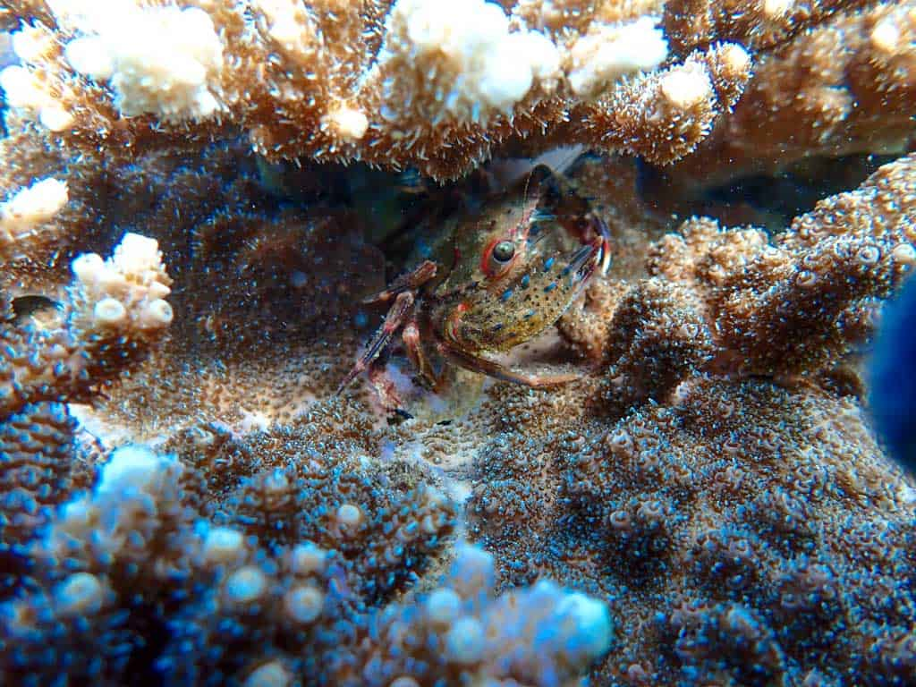 Un cangrejo entre los corales de Kushimoto