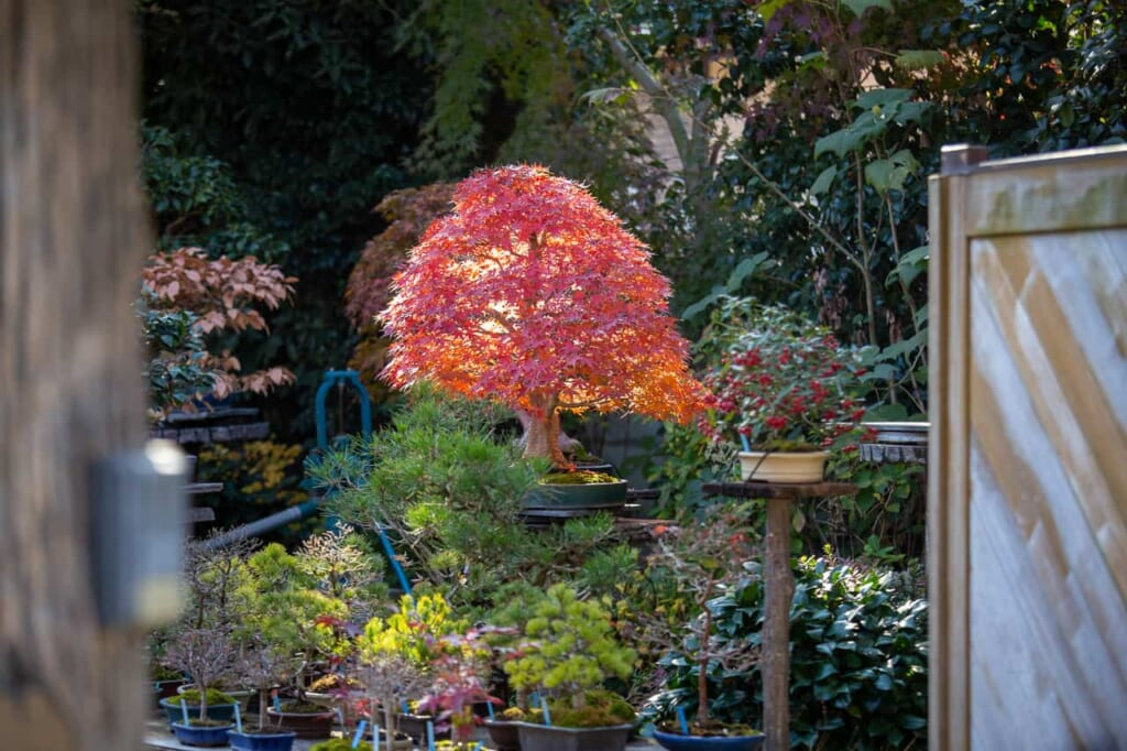 Durante tu ruta con el Hokuriku Arch Pass puedes ver bonsáis