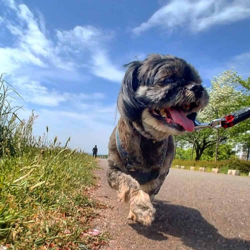Las razas mixtas pequeñas son los perros japoneses más populares