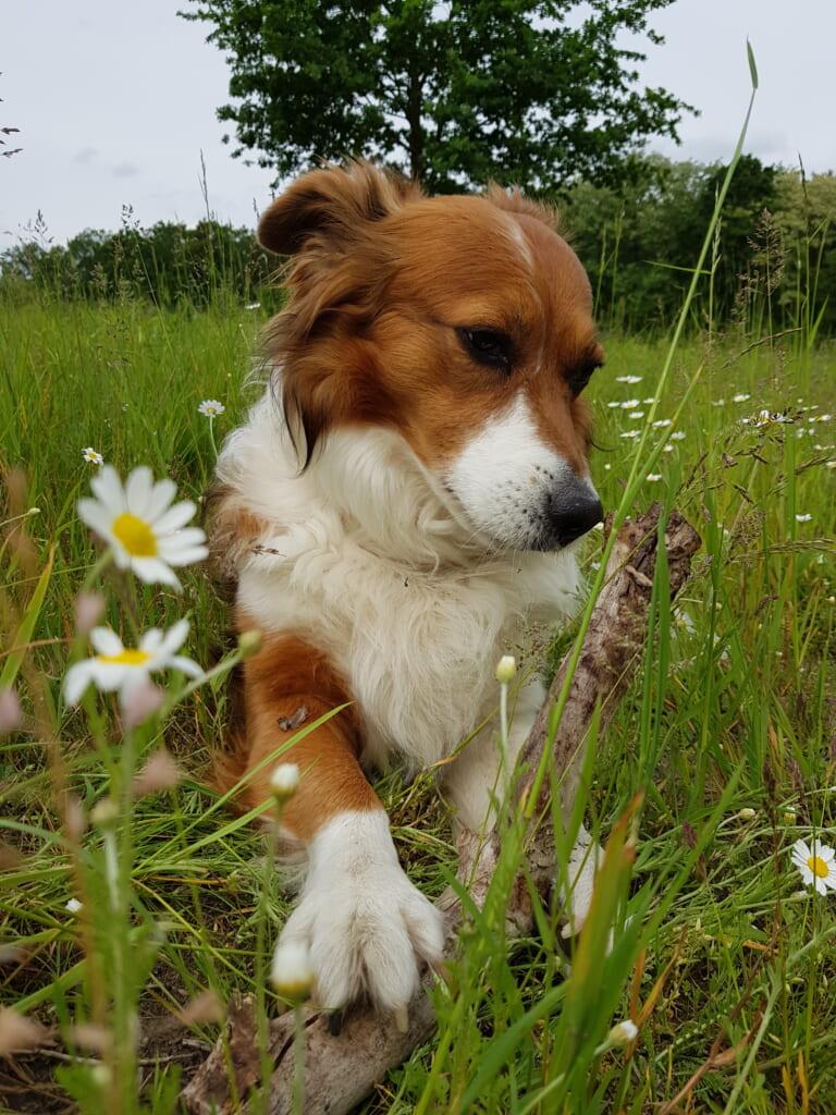 Las razas mixtas son perros populares en Japón.