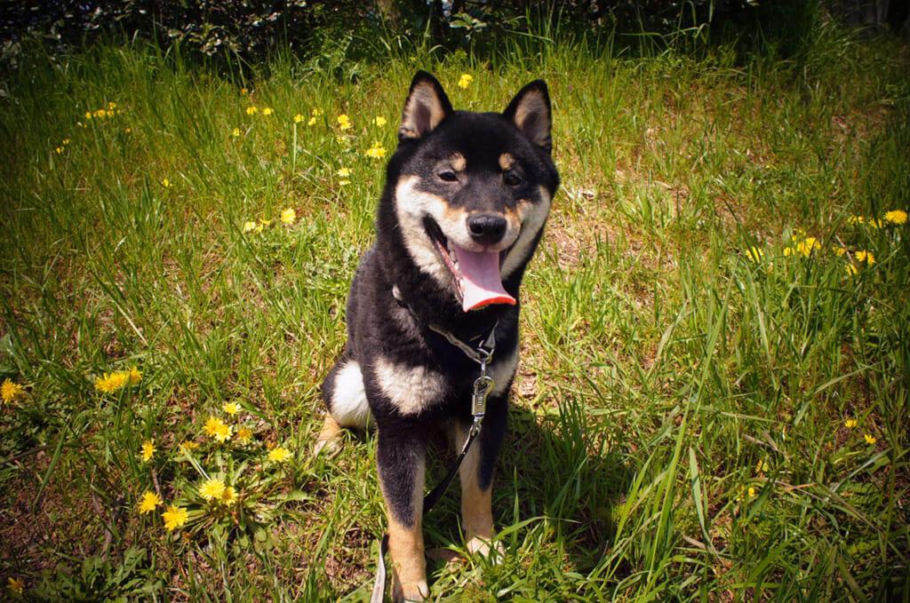 Kuro, el Shiba Inu pertenece a las razas de perros japoneses.