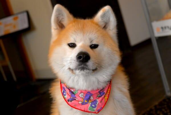 El Akita Inu pertenece a los perros japoneses.