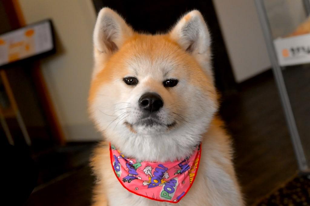 Perros japoneses: Shiba, Akita y compañía ¿Cuál es la raza más popular en Japón?