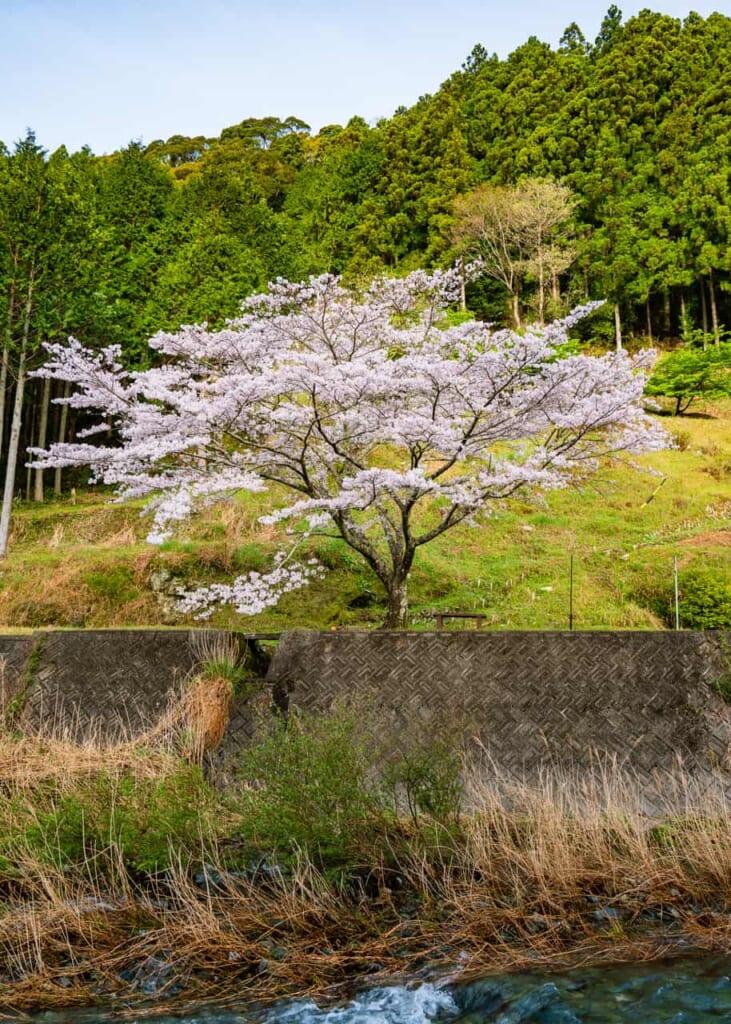 Árbol del sakura a la orilla del río