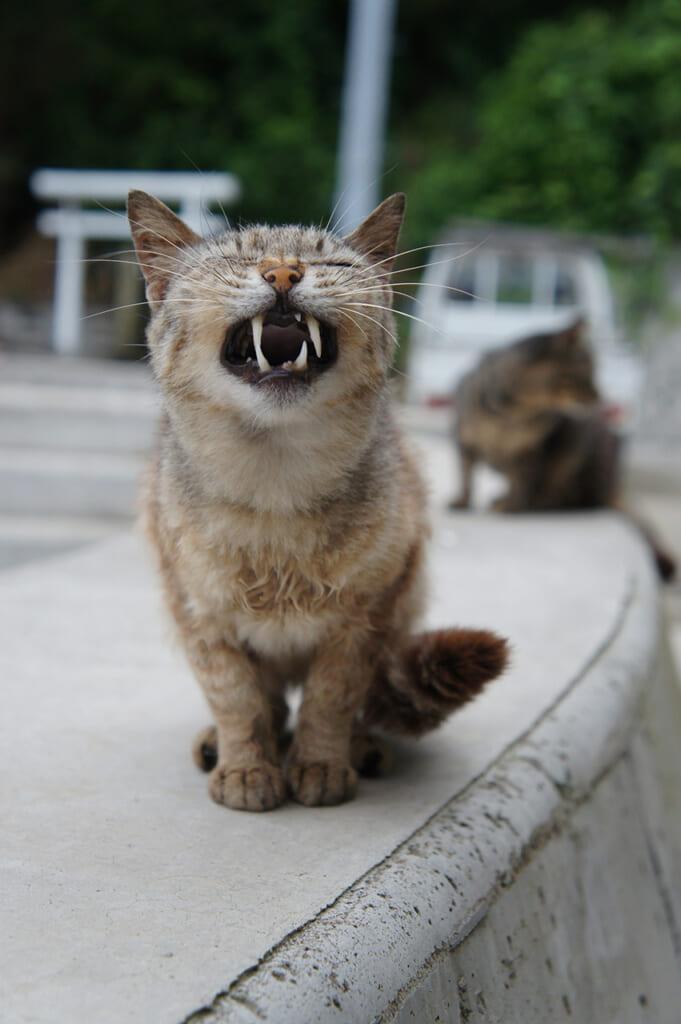 Gato atigrado bostezando