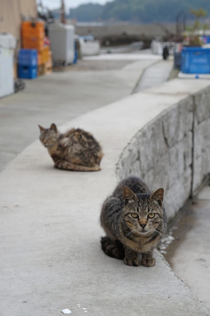Dos gatos atigrados en el puerto de Manabe Shima